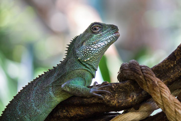 Chinese Wateragame or Physignathus cocincinus sitting on a log