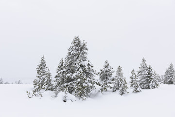 Winter Scenic of Pine Trees in Snow