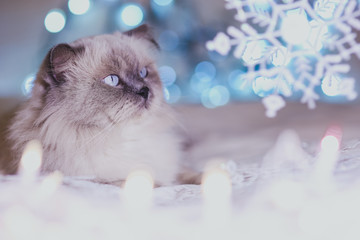 Christmas, New Year holiday calendar cat, cozy blue and white picture. Himalayan Persian color point cat. Can use for background or wallpaper, Christmas critters.
