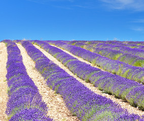 View of lavender field