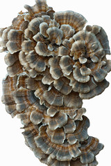 Turkey tail (Trametes versicolor). Synonyms: Coriolus versicolor and Polyporus versicolor