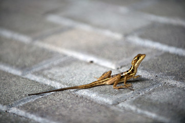 Lizard with long tail sit on brick pavement