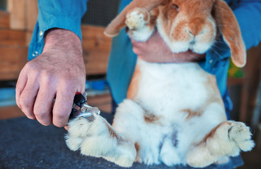 Trimming rabbit's nails. Pets and animals concept