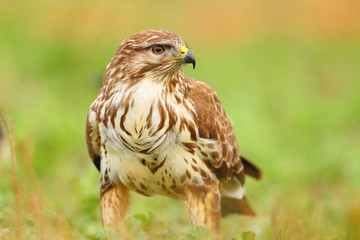 Portrait of a common buzzard on the grass