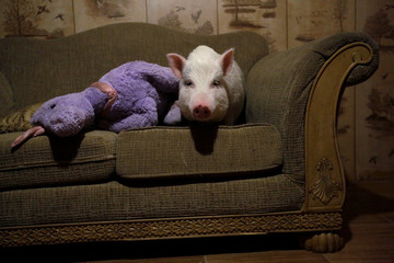 """Balu"" the pig is photographed at a couch in Ciudad Juarez"