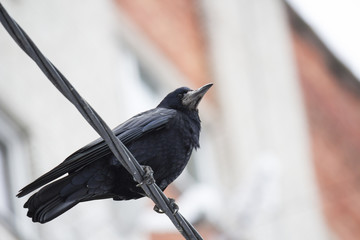 Black Raven sitting on wires