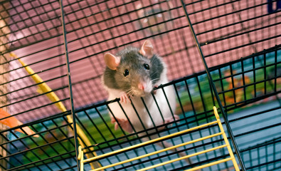 White-grey rat in the cage