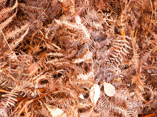 brown dead dry fern leaves on forest floor background texture season