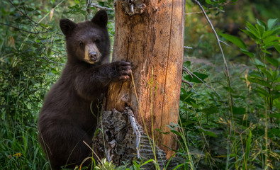 Young Black Bear Clings to Tree