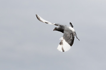 white flight homing pigeon bird flying against clear sky