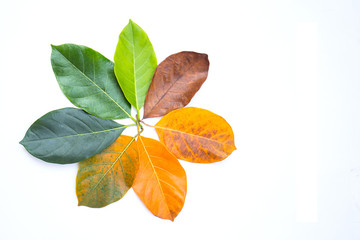 Wall Mural - Closeup jackfruit leaves in different color and age . colorful leaves in autumn season. For environment changed concept. Top view or flat lay background and banner.