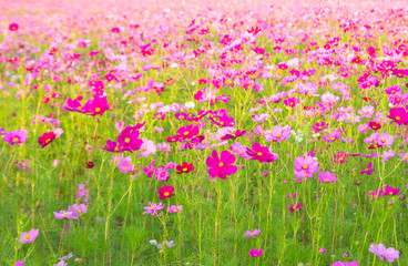 A field of cosmos with Mountain in the background..Beautiful cosmos flowers field at Jim Thompson farm at Nakornratchasima, Thailand