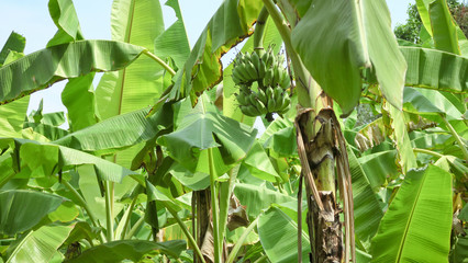 Banana Plantation,Banana farming in thailand