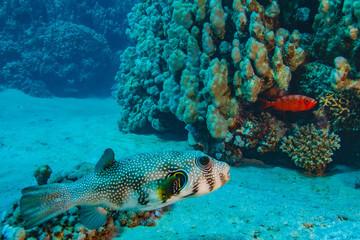 Underwater coral world with ballfish on bottom sand