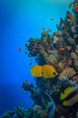 Bennerfich against blue water copyspace, coral reef in corner of image