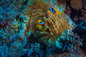 Red sea underwater corals and aquatic life, anemone with yellow fish