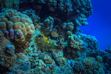 Two anemone fish hiding in corals, under water world of Red sea