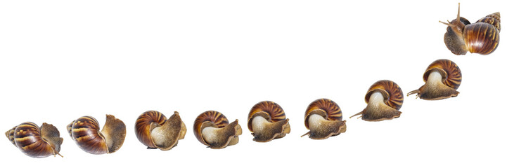 Giant african snail ( Lissachatina fulica ) in nine action isolated with clipping path
