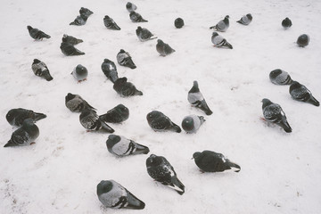 A lot of pigeons on snow