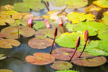 lotus flower at bangkok thailand