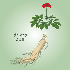 Engraving of ginseng, its name in English and Chinese, in colors