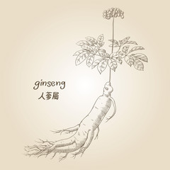 Engraving of ginseng, its name in English and Chinese, in sepia
