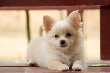 Pomeranian mixed breed with Chihuahua.