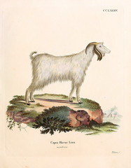 Illustration of a mountain goat.