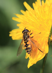 Hoverfly nectaring on a Dandelion flower, Cornwall, England, UK.