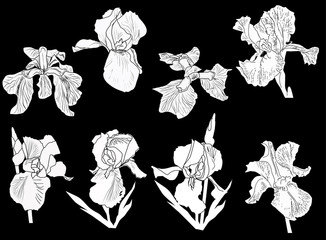 eight white iris isolated sketches