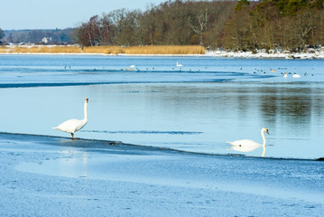 Two mute swans (Cygnus olor) at the thin edge of frozen sea ice in lovely winter landscape. Location Hjortahammar in Blekinge, Sweden.