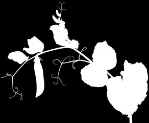 pea plant silhouette with pod isolated on black