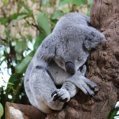 Papiers peints Koala a lazy grey koala sleeping on the branch of a tree