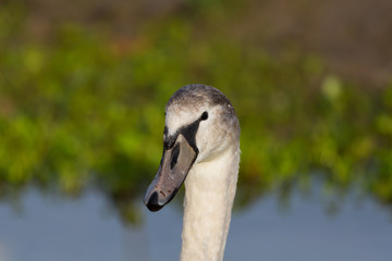 detailed portrait of young mute swan (cygnus olor) bird