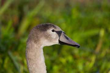 side view portrait of young mute swan (cygnus olor) bird