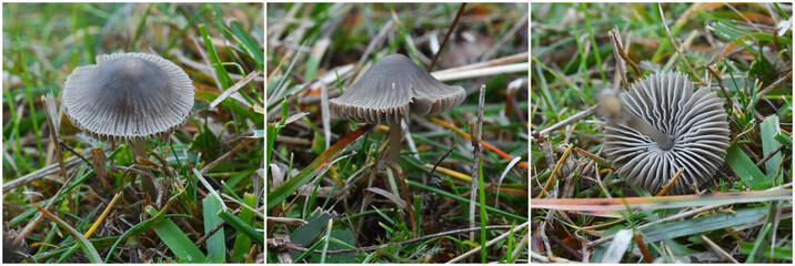 mycena aetites mushroom