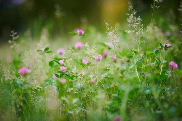 Selective focus on flowering clover