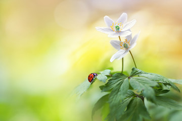Wall Mural - Beautiful white forest flowers anemones and ladybug in sunlight on yellow and green background, template with space for text.  Elegant exquisite tender artistic image of spring nature macro.