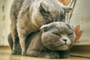 Reproduction of purebred cats