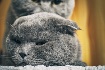 Heads of purebred cats while mating close-up
