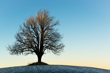 Lonely winter tree in the sunset