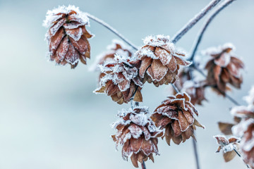 frost on plant in winter