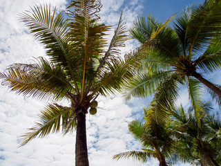 Wide angle view of multiple palm trees with coconuts, on a cloudy sky background. Hua Hin, Thailand. Travel and holidays concept.