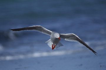 Dolphin Gull (Leucophaeus scoresbii) in flight on the coast of Sea Lion Island in the Falkland Islands.