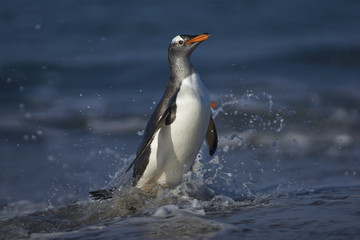 Gentoo Penguin (Pygoscelis papua) coming ashore after feeding at sea on Sea Lion Island in the Falkland Islands.