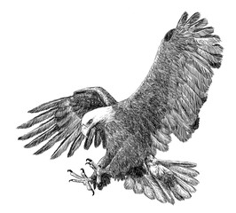 Bald eagle swoop attack hand draw sketch black line on white background vector illustration.
