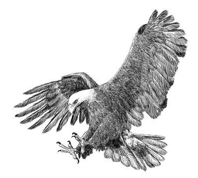 Bald eagle swoop attack hand draw sketch black line on white background vector illustration.