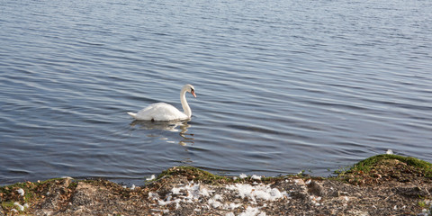 swan swims on the edge of the lake
