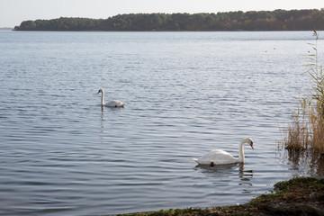 Two white swans calmly on a wild lake