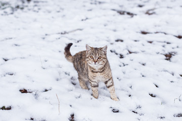 homeless predatory  cat looking for prey in the winter